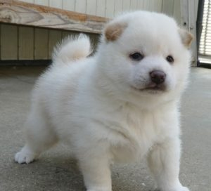 安室ハロ 犬種